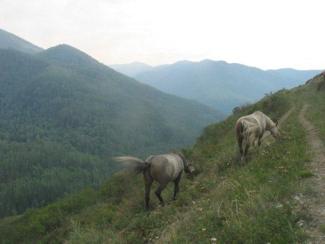 altai-horses